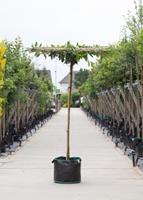 Warentuin Laurierkers vierkant dak Prunus laurocerasus h 230 cm st. dia 16 cm st. h 220 cm