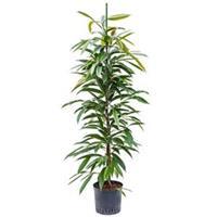 plantenwinkel.nl Ficus amstel king toef M hydrocultuur plant