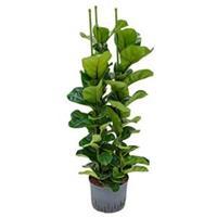 plantenwinkel.nl Ficus lyrata bambino 3pp M hydrocultuur plant