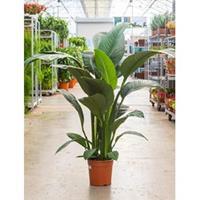 plantenwinkel.nl Spathiphyllum sensation S kamerplant