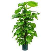 plantenwinkel.nl Scindapsus epipremnum aureum mosstok 120 M kamerplant