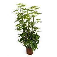 plantenwinkel.nl Schefflera arboricola 4pp hydrocultuur plant