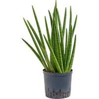 plantenwinkel.nl Sansevieria enjoy hydrocultuur plant