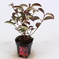 "plantenwinkel.nl Sneeuwbal (Viburnum ""Le Bois Marquis""®) heester - 25-30 cm (C2) - 6 stuks"