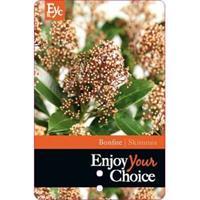"plantenwinkel.nl Skimmia (Skimmia Japonica ""Bonfire""®) heester - 15-20 cm (P10,5) - 11 stuks"