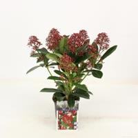 "plantenwinkel.nl Skimmia (Skimmia Japonica ""Rubella"") heester - 15-20 cm (P10.5) - 11 stuks"
