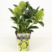 "plantenwinkel.nl Skimmia (Skimmia Japonica ""White Globe""®) heester - 15-20 cm (P10.5) - 11 stuks"