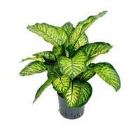 plantenwinkel.nl Dieffenbachia maroba hydrocultuur plant