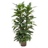 plantenwinkel.nl Ficus cyathistipula 4pp hydrocultuur plant