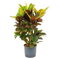 plantenwinkel.nl Croton petra vertakt S hydrocultuur plant