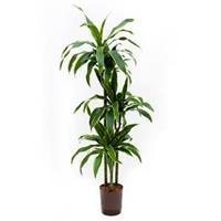 plantenwinkel.nl Dracaena arturo L hydrocultuur plant