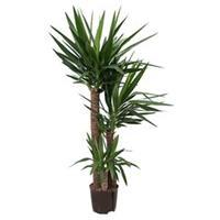 plantenwinkel.nl Yucca trio hydrocultuur plant