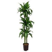 plantenwinkel.nl Dracaena hawaiian sunshine trio M hydrocultuur plant