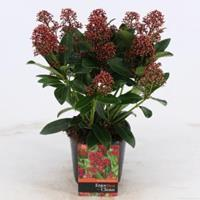 "plantenwinkel.nl Skimmia (Skimmia Japonica ""Rubella"") heester - 20+ cm (P13) - 8 stuks"