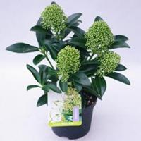 "plantenwinkel.nl Skimmia (Skimmia Japonica ""White Globe""®) heester - 20-30 cm (P13) - 8 stuks"