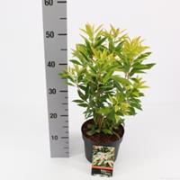 """plantenwinkel.nl Rotsheide (Pieris Japonica """"Brouwers Beauty"""") heester - 25-30 cm (C2) - 6 stuks"""