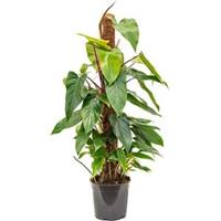plantenwinkel.nl Philodendron emerald S kamerplant