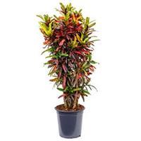 plantenwinkel.nl Croton real batic kamerplant
