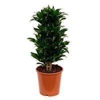 plantenwinkel.nl Dracaena compacta L kamerplant
