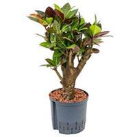 plantenwinkel.nl Croton petra bonsai hydrocultuur plant