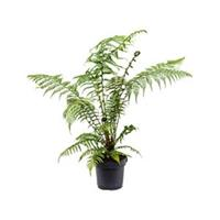 plantenwinkel.nl Dicksonia antartica M boomvaren kamerplant