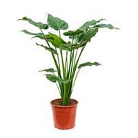 plantenwinkel.nl Alocasia cucullata M kamerplant