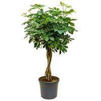 plantenwinkel.nl Schefflera arboricola gevlochten kamerplant