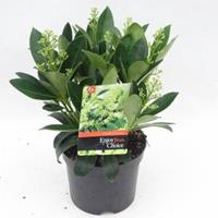 "plantenwinkel.nl Skimmia (Skimmia Japonica ""Finchy""®) heester - 30-40 cm (C3) - 6 stuks"