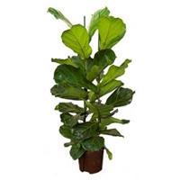 plantenwinkel.nl Ficus lyrata 2pp S hydrocultuur plant