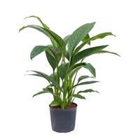 plantenwinkel.nl Spathiphyllum sensation M hydrocultuur plant
