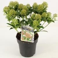 "plantenwinkel.nl Skimmia (Skimmia Japonica ""Marlot"") heester - 20-25 cm (P15) - 6 stuks"