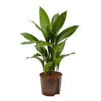 plantenwinkel.nl Aspidistra elatior L hydrocultuur plant