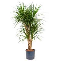 plantenwinkel.nl Dracaena marginata XL hydrocultuur plant