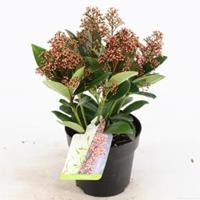 "plantenwinkel.nl Skimmia (Skimmia Japonica ""Bonfire""®) heester - 20+ (P13) - 8 stuks"