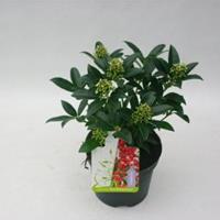 "plantenwinkel.nl Skimmia (Skimmia Japonica ""Red Riding Hood"") heester - 15-20 cm (P13) - 8 stuks"