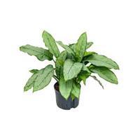 plantenwinkel.nl Aglaonema freedman M hydrocultuur plant