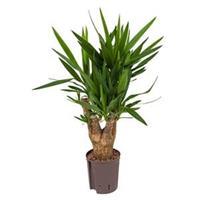 plantenwinkel.nl Yucca vertakt S hydrocultuur plant