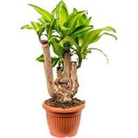 plantenwinkel.nl Dracaena massangeana L kamerplant