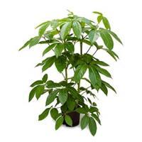 plantenwinkel.nl Schefflera amate L hydrocultuur plant