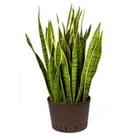 plantenwinkel.nl Sansevieria laurentii XL hydrocultuur plant