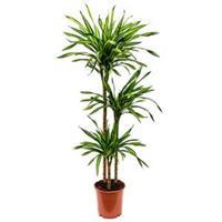 plantenwinkel.nl Dracaena riki M kamerplant