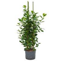 plantenwinkel.nl Ficus moclame 3pp M hydrocultuur plant