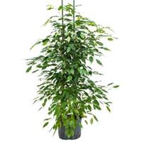 plantenwinkel.nl Ficus benjamina 2pp hydrocultuur plant