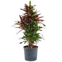 plantenwinkel.nl Croton mamey M hydrocultuur plant