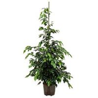 plantenwinkel.nl Ficus danielle L hydrocultuur plant