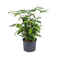 plantenwinkel.nl Caryota vissenstaartpalm mitis hydrocultuur plant