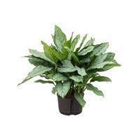 plantenwinkel.nl Aglaonema freedman L hydrocultuur plant