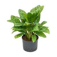 plantenwinkel.nl Aglaonema stripes M hydrocultuur plant