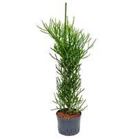 plantenwinkel.nl Euphorbia cactus tirucalli L hydrocultuur plant