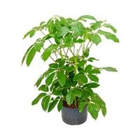plantenwinkel.nl Schefflera amate XL hydrocultuur plant